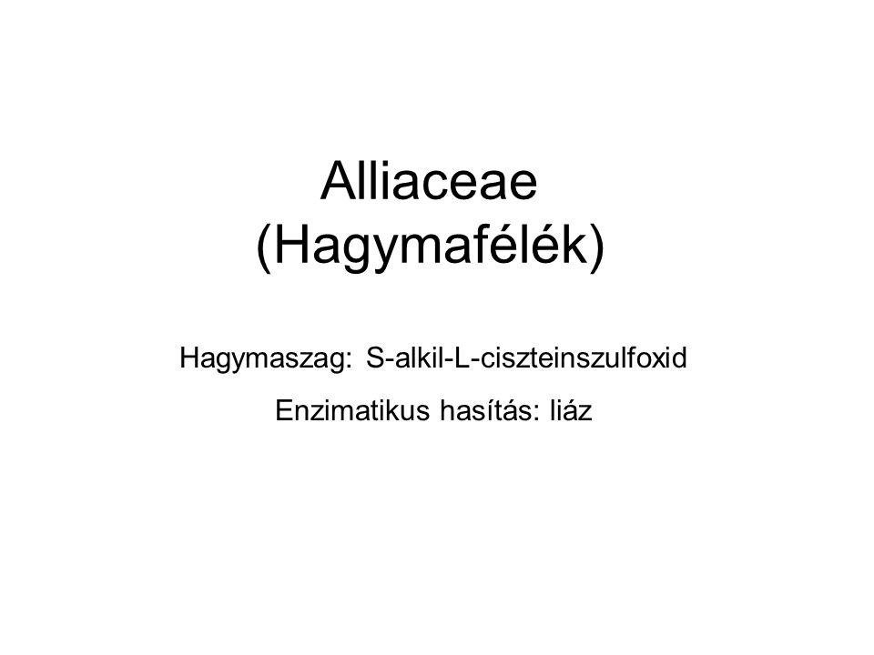 Alliaceae (Hagymafélék) Hagymaszag: S-alkil-L-ciszteinszulfoxid Enzimatikus hasítás: liáz