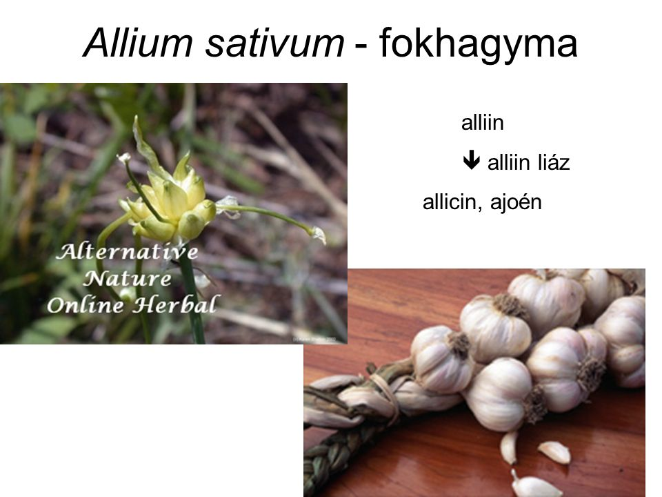 Allium sativum - fokhagyma alliin  alliin liáz allicin, ajoén