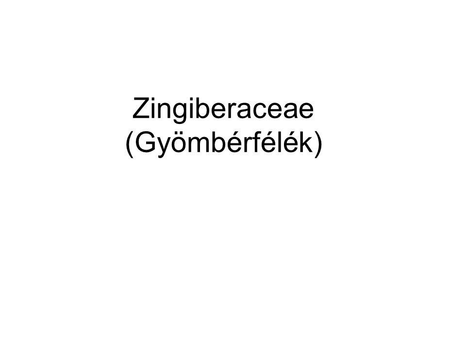 Zingiberaceae (Gyömbérfélék)