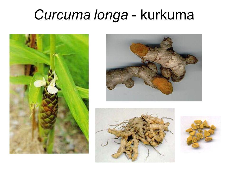 Curcuma longa - kurkuma