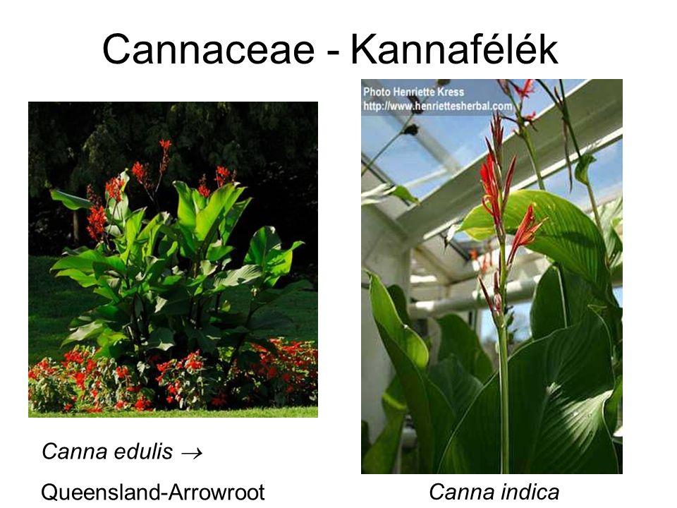 Cannaceae - Kannafélék Canna edulis  Queensland-Arrowroot Canna indica
