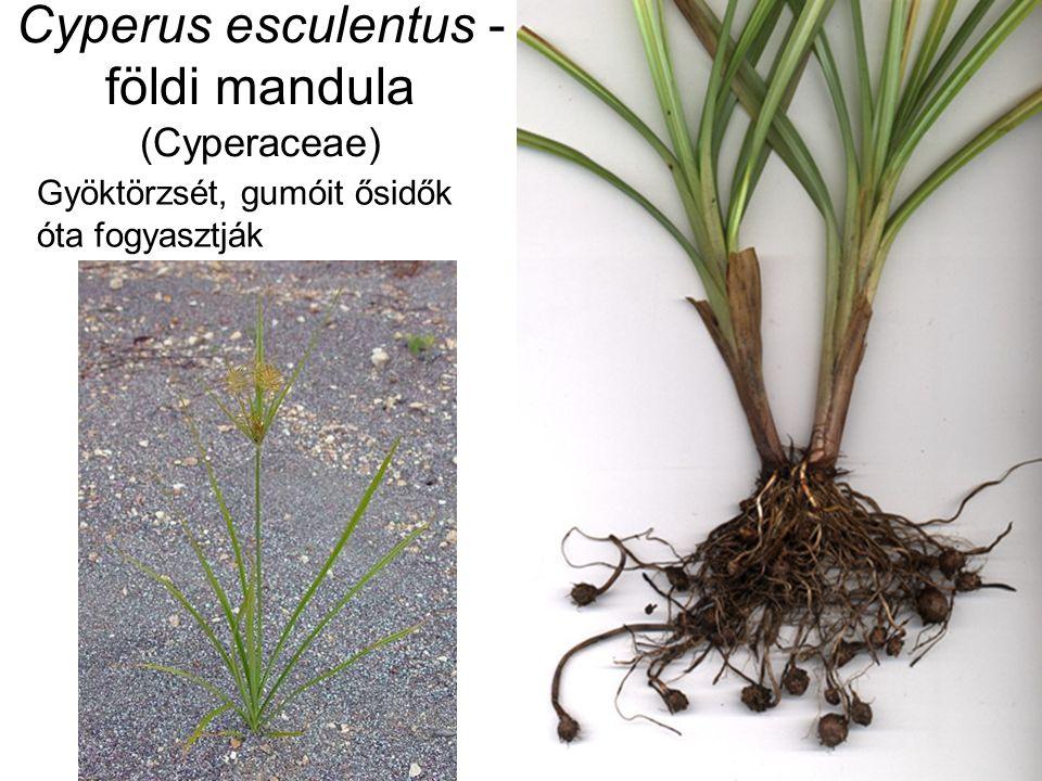 Cyperus esculentus - földi mandula (Cyperaceae) Gyöktörzsét, gumóit ősidők óta fogyasztják