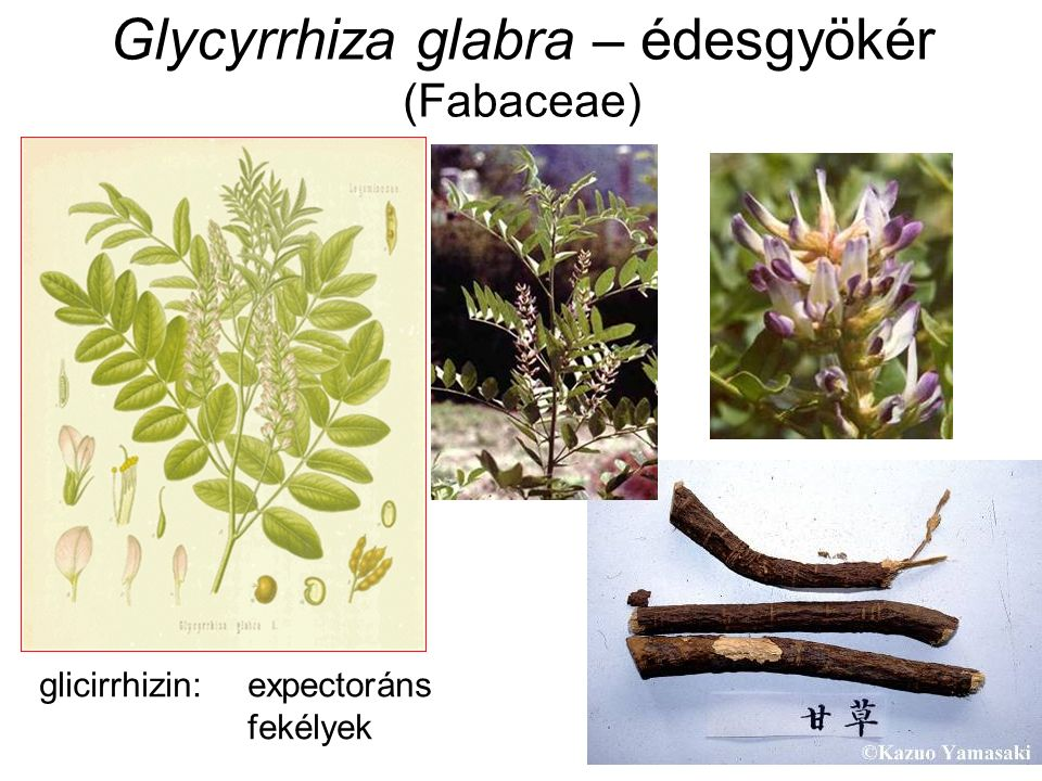 Glycyrrhiza glabra – édesgyökér (Fabaceae) glicirrhizin:expectoráns fekélyek