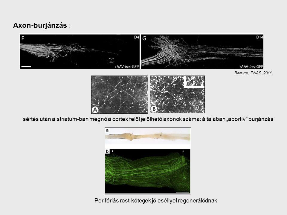 """Axon-burjánzás : Bareyre, PNAS; 2011 sértés után a striatum-ban megnő a cortex felől jelölhető axonok száma: általában """"abortív burjánzás Perifériás rost-kötegek jó eséllyel regenerálódnak"""