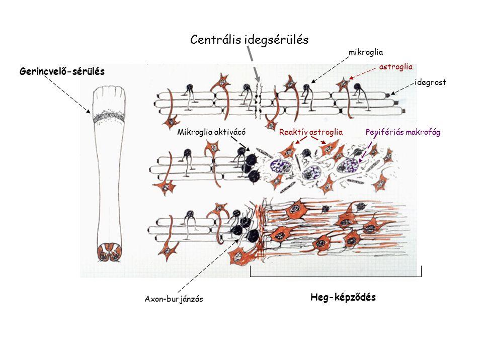 Centrális idegsérülés Gerincvelő-sérülés mikroglia astroglia idegrost Mikroglia aktivácóReaktív astroglia Perifériás makrofág Axon-burjánzás Heg-képződés