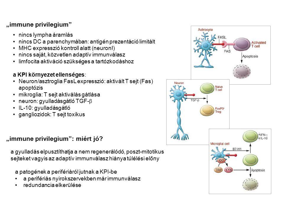 """nincs lympha áramlás nincs DC a parenchymában: antigén prezentáció limitált MHC expresszió kontroll alatt (neuron!) nincs saját, közvetlen adaptív immunválasz limfocita aktiváció szükséges a tartózkodáshoz a KPI környezet ellenséges: Neuron/asztroglia FasL expresszió: aktivált T sejt (Fas) apoptózis mikroglia: T sejt aktiválás gátlása neuron: gyulladásgátló TGF-  IL-10: gyulladásgátló gangliozidok: T sejt toxikus """"immune privilegium """"immune privilegium : miért jó."""