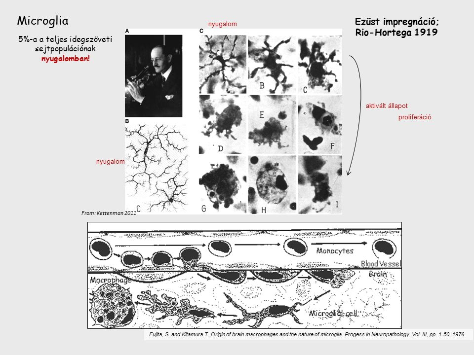 Fujita, S. and Kitamura T.,Origin of brain macrophages and the nature of microglia. Progess in Neuropathology, Vol. III, pp. 1-50, 1976. Microglia Ezü