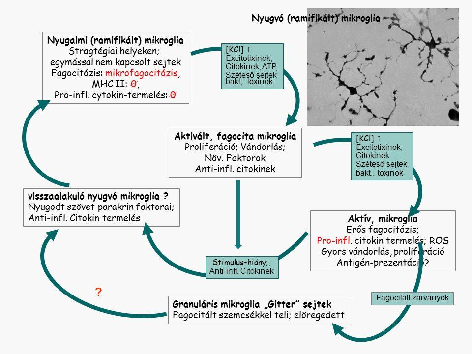 Nyugalmi (ramifikált) mikroglia Stragtégiai helyeken; egymással nem kapcsolt sejtek Fagocitózis: mikrofagocitózis, MHC II: 0, Pro-infl.