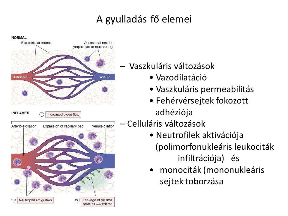 A gyulladás fő elemei – Vaszkuláris változások Vazodilatáció Vaszkuláris permeabilitás Fehérvérsejtek fokozott adhéziója – Celluláris változások Neutrofilek aktivációja (polimorfonukleáris leukociták infiltrációja) és monociták (mononukleáris sejtek toborzása