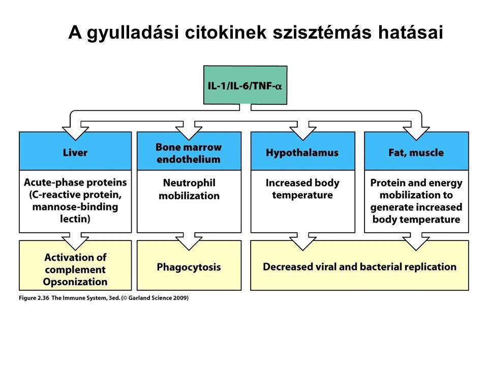 A gyulladási citokinek szisztémás hatásai