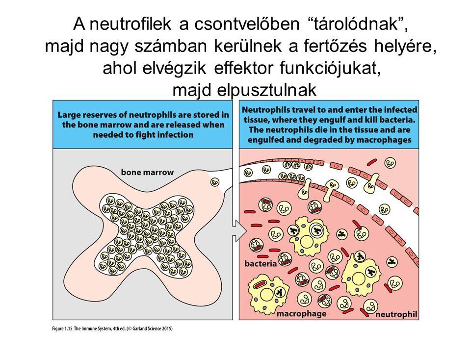 A neutrofilek a csontvelőben tárolódnak , majd nagy számban kerülnek a fertőzés helyére, ahol elvégzik effektor funkciójukat, majd elpusztulnak