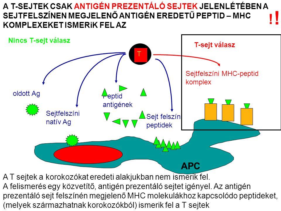 A T-SEJTEK CSAK ANTIGÉN PREZENTÁLÓ SEJTEK JELENLÉTÉBEN A SEJTFELSZÍNEN MEGJELENŐ ANTIGÉN EREDETŰ PEPTID – MHC KOMPLEXEKET ISMERiK FEL AZ T Nincs T-sejt válasz oldott Ag Sejtfelszíni natív Ag Peptid antigének Sejtfelszíni MHC-peptid komplex T-sejt válasz Sejt felszíni peptidek APC .