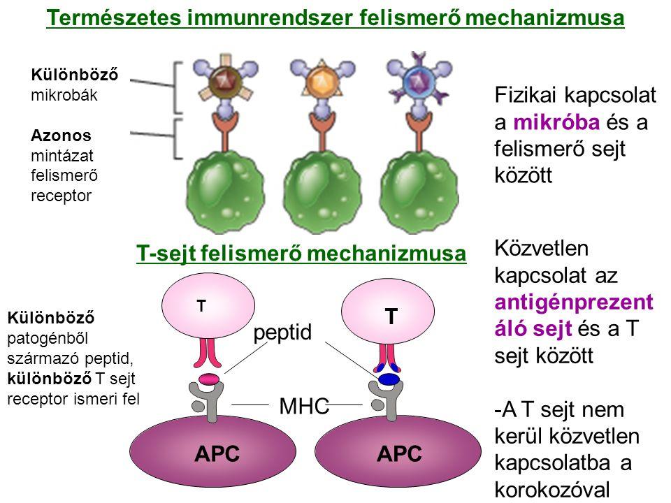 Különböző mikrobák Azonos mintázat felismerő receptor Fizikai kapcsolat a mikróba és a felismerő sejt között Közvetlen kapcsolat az antigénprezent áló sejt és a T sejt között -A T sejt nem kerül közvetlen kapcsolatba a korokozóval Különböző patogénből származó peptid, különböző T sejt receptor ismeri fel Természetes immunrendszer felismerő mechanizmusa T-sejt felismerő mechanizmusa APC T peptid MHC T