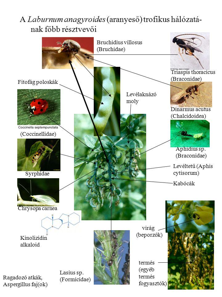 11 A Laburnum anagyroides (aranyeső) trofikus hálózatá- nak főbb résztvevői Triaspis thoracicus (Braconidae) Dinarmus acutus (Chalcidoidea) Bruchidius villosus (Bruchidae) Syrphidae Lasius sp.
