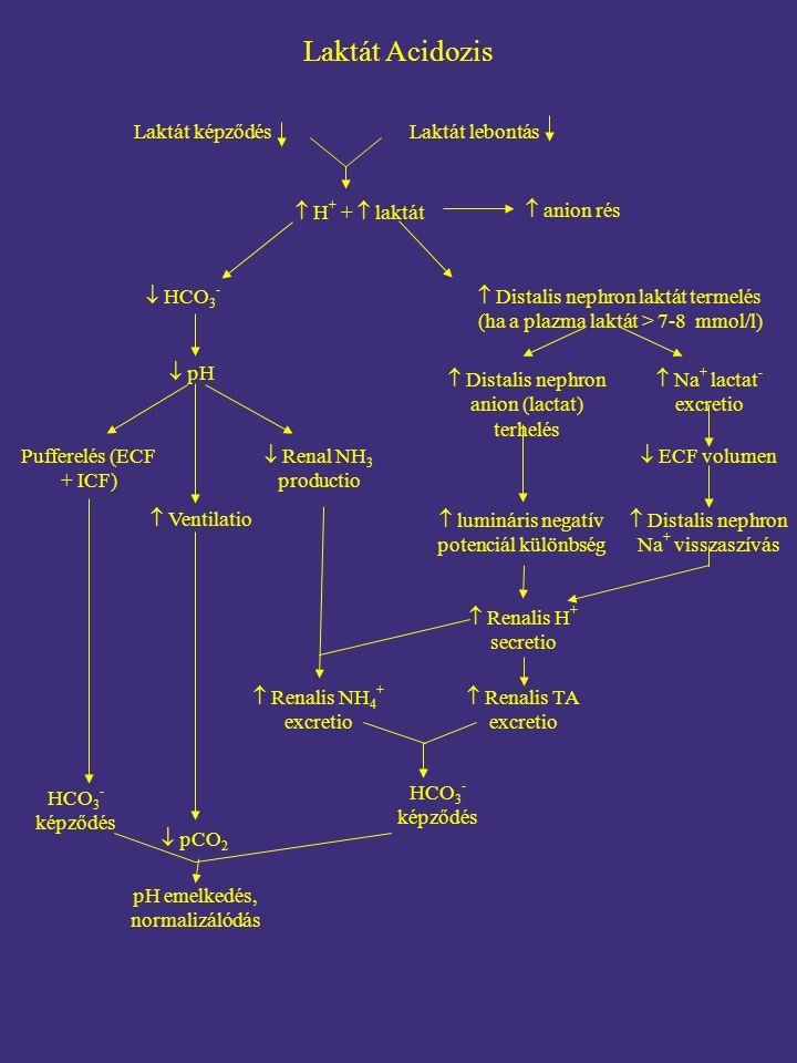 Laktát képződés HCO 3 - képződés Laktát Acidozis Laktát lebontás  anion rés  H + +  laktát  HCO 3 -  Renal NH 3 productio  Distalis nephron anion (lactat) terhelés  ECF volumen  lumináris negatív potenciál különbség Pufferelés (ECF + ICF)  pH  Ventilatio  Distalis nephron laktát termelés (ha a plazma laktát > 7-8 mmol/l)  Renalis H + secretio  Renalis TA excretio  Renalis NH 4 + excretio  pCO 2 pH emelkedés, normalizálódás HCO 3 - képződés  Na + lactat - excretio  Distalis nephron Na + visszaszívás