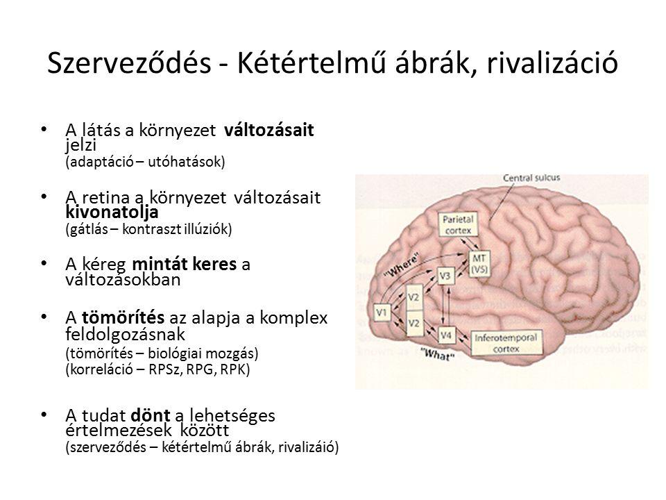 Binokuláris rivalizáció 2.elmélet:Koherens kép gátlása – A gátlás magas szinten valósul meg, miután mindkét kép feldolgozása megtörtént – A két kép tudatba kerülése versenyez Mit lát az 'alany': Inger IT-ben MÉRT aktivitás: Tehát az IT-ben mérhető neurális aktivitás mintázata követi az észlelet változását!