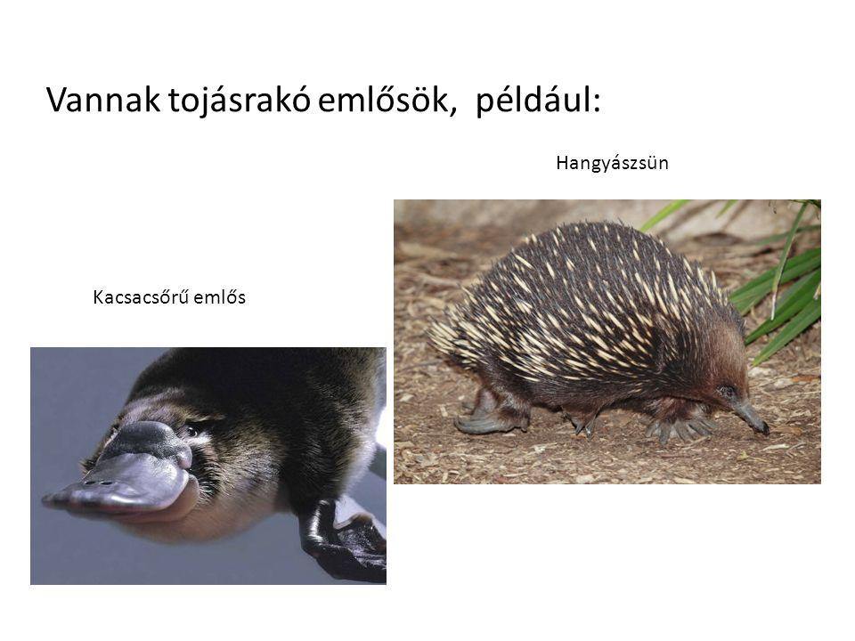 Vannak tojásrakó emlősök, például: Kacsacsőrű emlős Hangyászsün