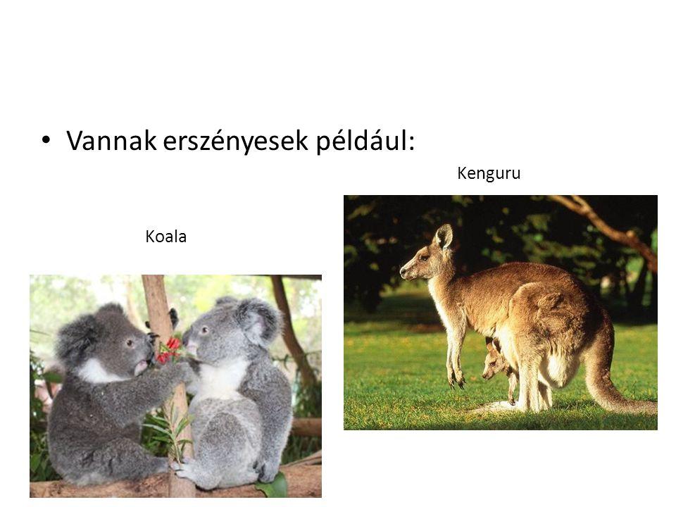 Vannak erszényesek például: Koala Kenguru