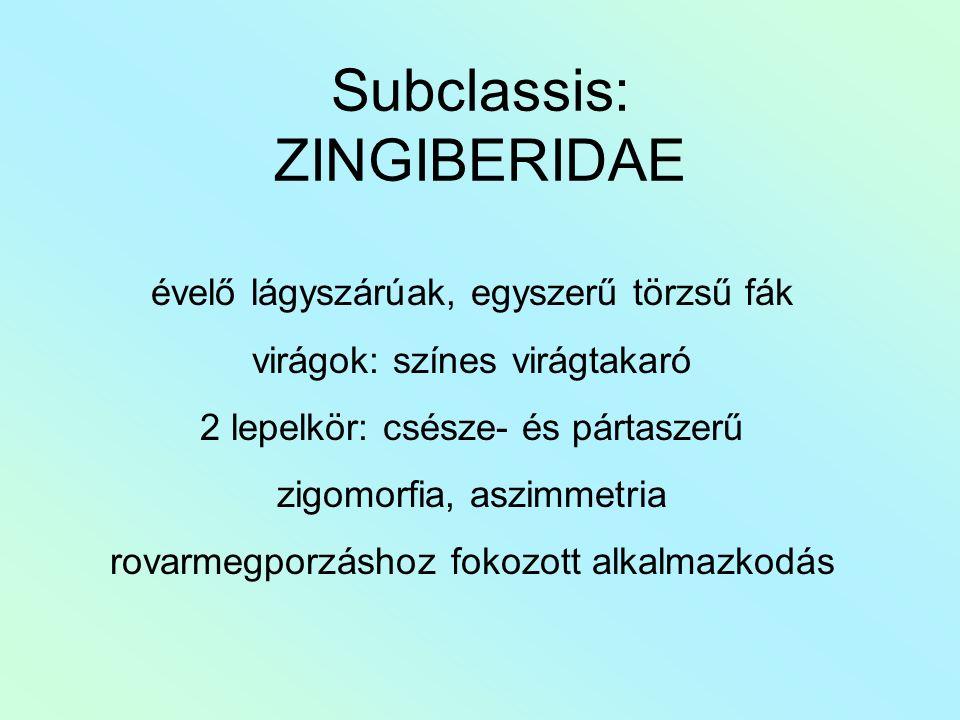 Subclassis: ZINGIBERIDAE évelő lágyszárúak, egyszerű törzsű fák virágok: színes virágtakaró 2 lepelkör: csésze- és pártaszerű zigomorfia, aszimmetria rovarmegporzáshoz fokozott alkalmazkodás