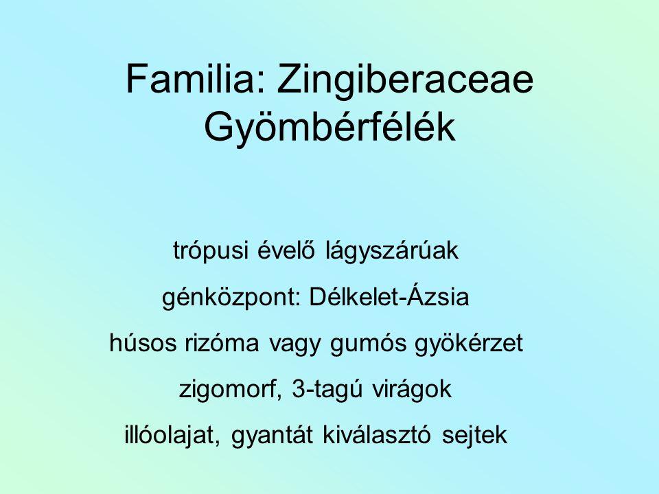 Familia: Zingiberaceae Gyömbérfélék trópusi évelő lágyszárúak génközpont: Délkelet-Ázsia húsos rizóma vagy gumós gyökérzet zigomorf, 3-tagú virágok il