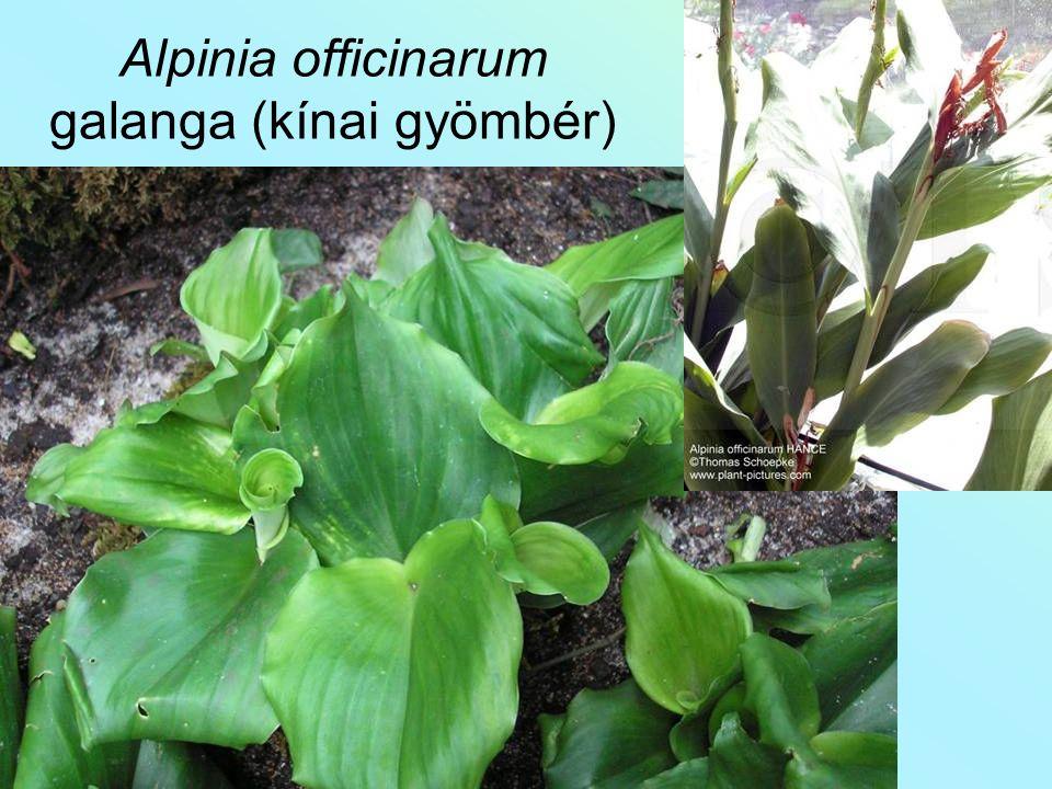 Alpinia officinarum galanga (kínai gyömbér)