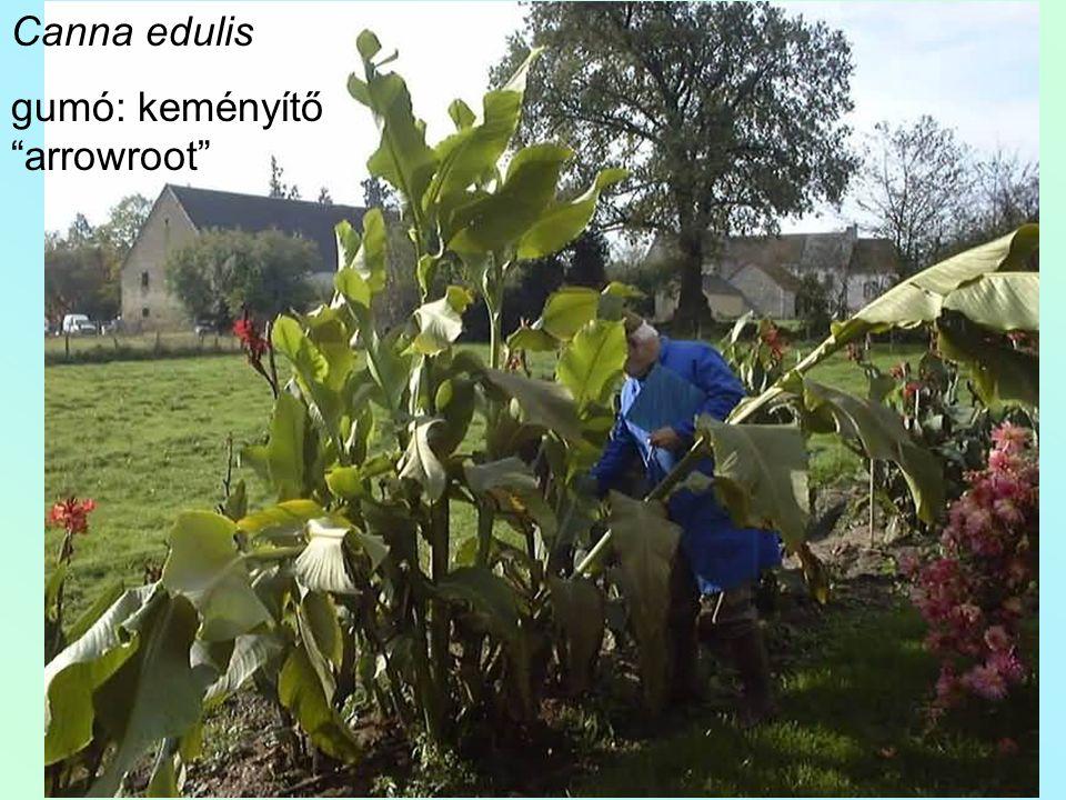 Canna edulis gumó: keményítő arrowroot