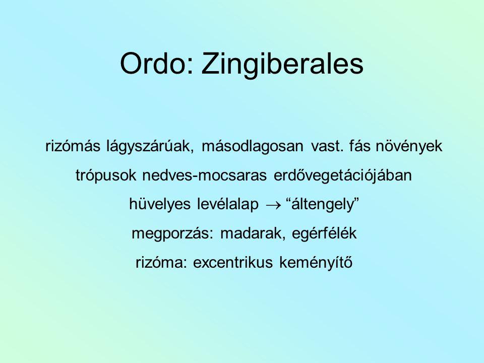 """Ordo: Zingiberales rizómás lágyszárúak, másodlagosan vast. fás növények trópusok nedves-mocsaras erdővegetációjában hüvelyes levélalap  """"áltengely"""" m"""