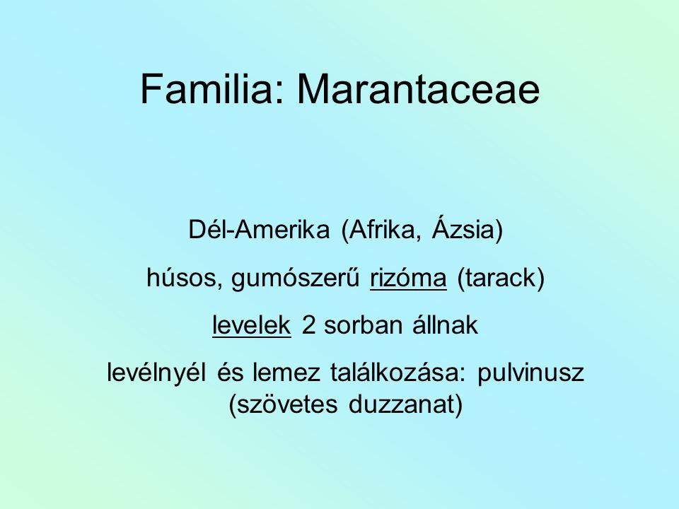 Familia: Marantaceae Dél-Amerika (Afrika, Ázsia) húsos, gumószerű rizóma (tarack) levelek 2 sorban állnak levélnyél és lemez találkozása: pulvinusz (szövetes duzzanat)