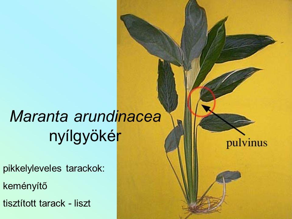 Maranta arundinacea nyílgyökér pikkelyleveles tarackok: keményítő tisztított tarack - liszt