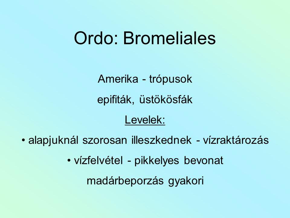 Ordo: Bromeliales Amerika - trópusok epifiták, üstökösfák Levelek: alapjuknál szorosan illeszkednek - vízraktározás vízfelvétel - pikkelyes bevonat madárbeporzás gyakori