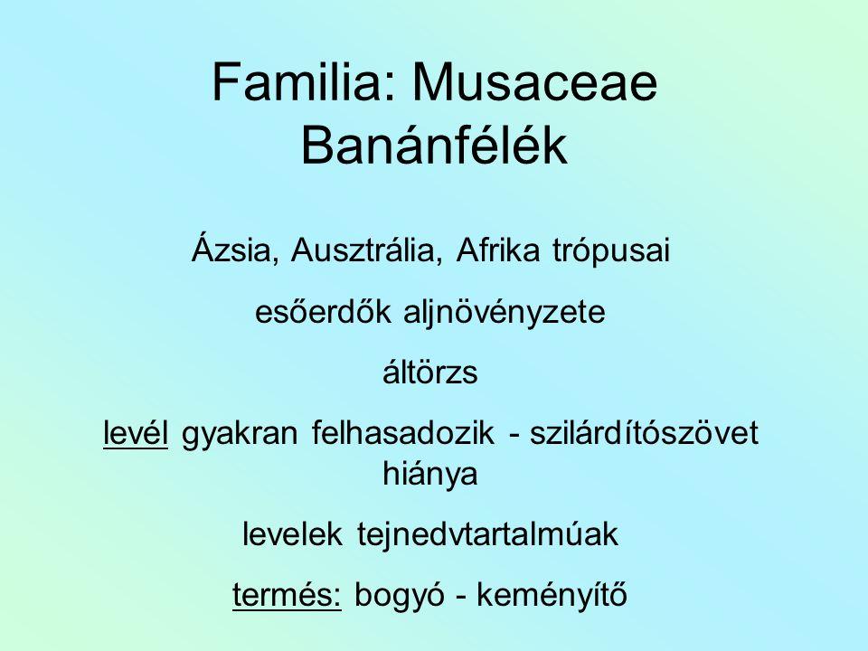 Familia: Musaceae Banánfélék Ázsia, Ausztrália, Afrika trópusai esőerdők aljnövényzete áltörzs levél gyakran felhasadozik - szilárdítószövet hiánya levelek tejnedvtartalmúak termés: bogyó - keményítő