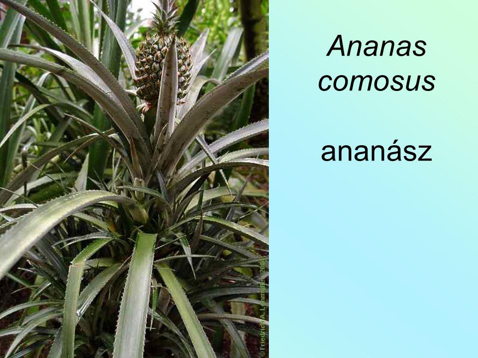 Ananas comosus ananász