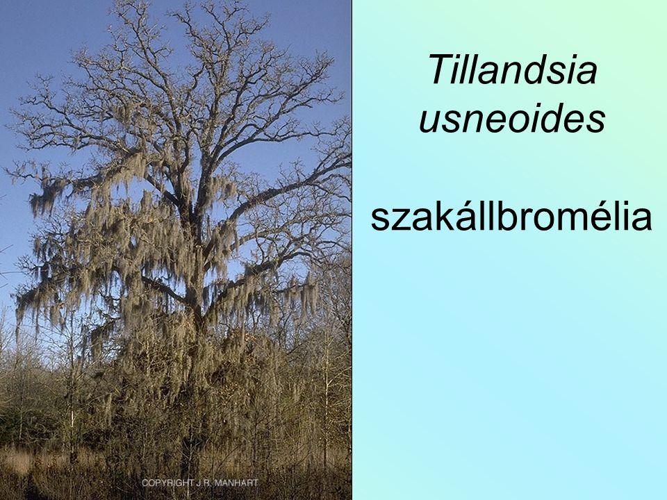 Tillandsia usneoides szakállbromélia