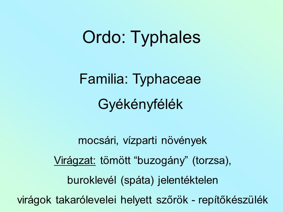 Ordo: Typhales Familia: Typhaceae Gyékényfélék mocsári, vízparti növények Virágzat: tömött buzogány (torzsa), buroklevél (spáta) jelentéktelen virágok takarólevelei helyett szőrök - repítőkészülék