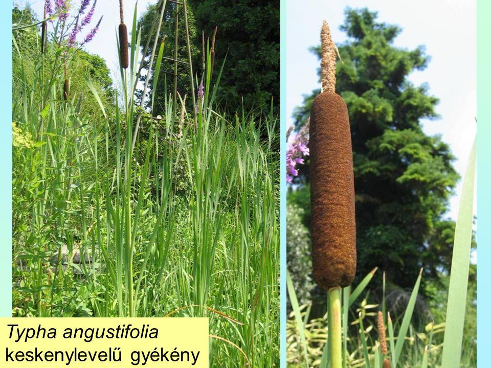 Typha angustifolia keskenylevelű gyékény