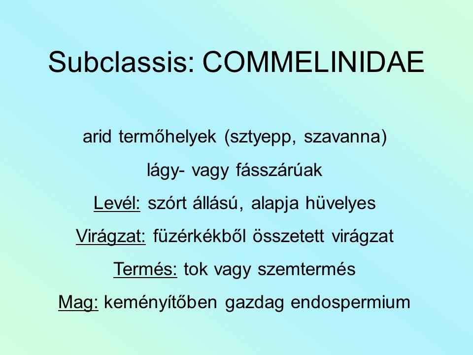 Subclassis: COMMELINIDAE arid termőhelyek (sztyepp, szavanna) lágy- vagy fásszárúak Levél: szórt állású, alapja hüvelyes Virágzat: füzérkékből összete