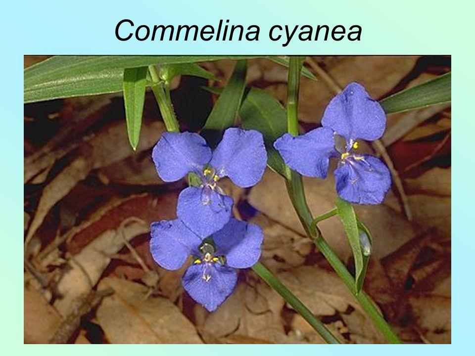 Commelina cyanea