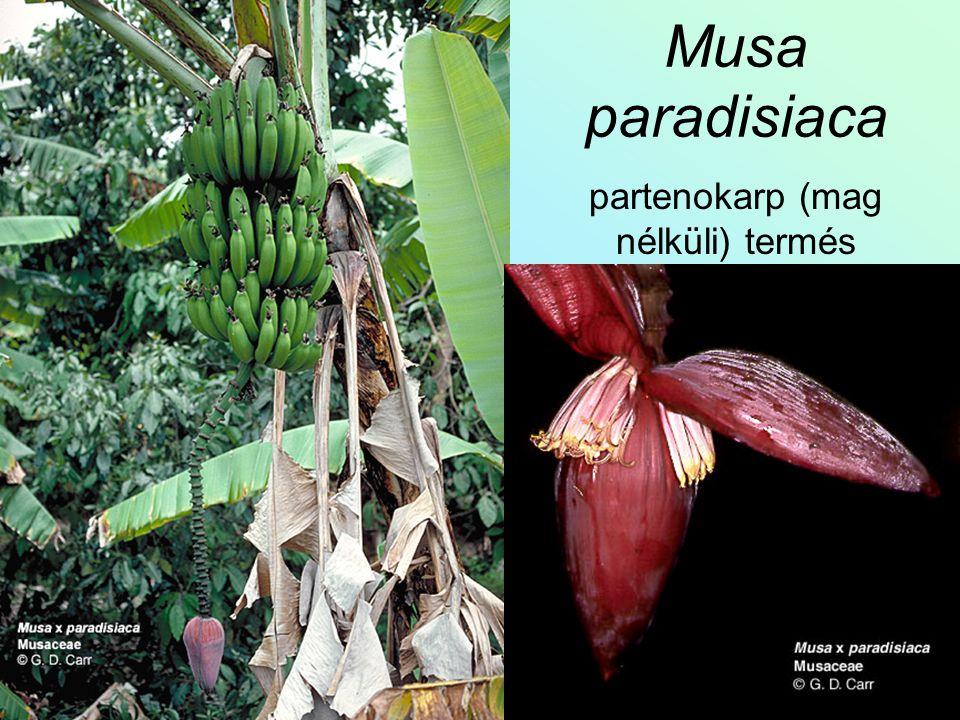 Musa paradisiaca partenokarp (mag nélküli) termés