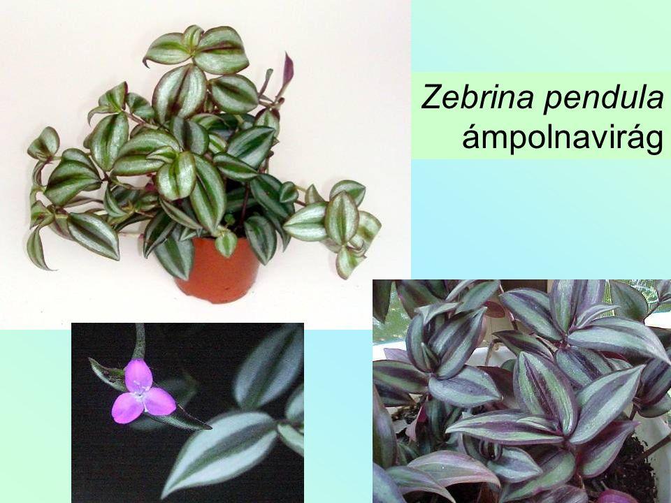 Zebrina pendula ámpolnavirág
