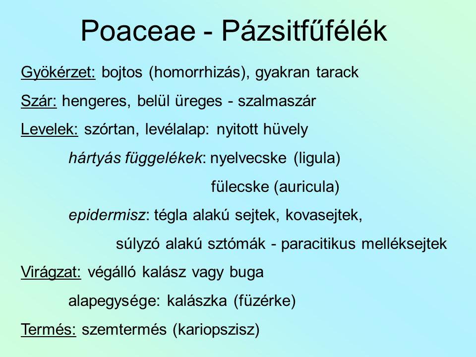 Poaceae - Pázsitfűfélék Gyökérzet: bojtos (homorrhizás), gyakran tarack Szár: hengeres, belül üreges - szalmaszár Levelek: szórtan, levélalap: nyitott hüvely hártyás függelékek: nyelvecske (ligula) fülecske (auricula) epidermisz: tégla alakú sejtek, kovasejtek, súlyzó alakú sztómák - paracitikus melléksejtek Virágzat: végálló kalász vagy buga alapegysége: kalászka (füzérke) Termés: szemtermés (kariopszisz)