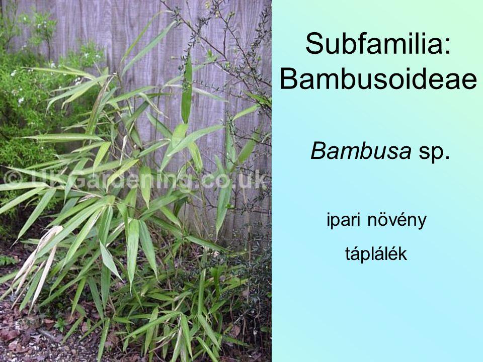 Subfamilia: Bambusoideae Bambusa sp. ipari növény táplálék