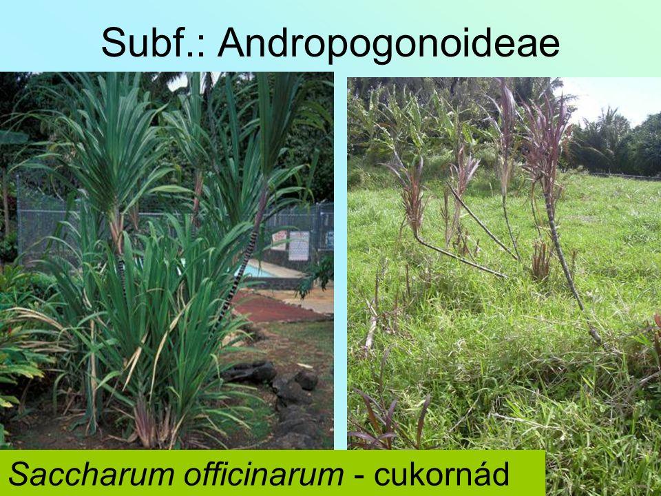 Subf.: Andropogonoideae Saccharum officinarum - cukornád