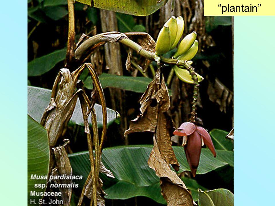 Subclassis: COMMELINIDAE arid termőhelyek (sztyepp, szavanna) lágy- vagy fásszárúak Levél: szórt állású, alapja hüvelyes Virágzat: füzérkékből összetett virágzat Termés: tok vagy szemtermés Mag: keményítőben gazdag endospermium