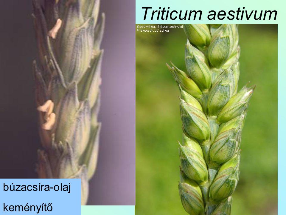 Triticum aestivum búzacsíra-olaj keményítő