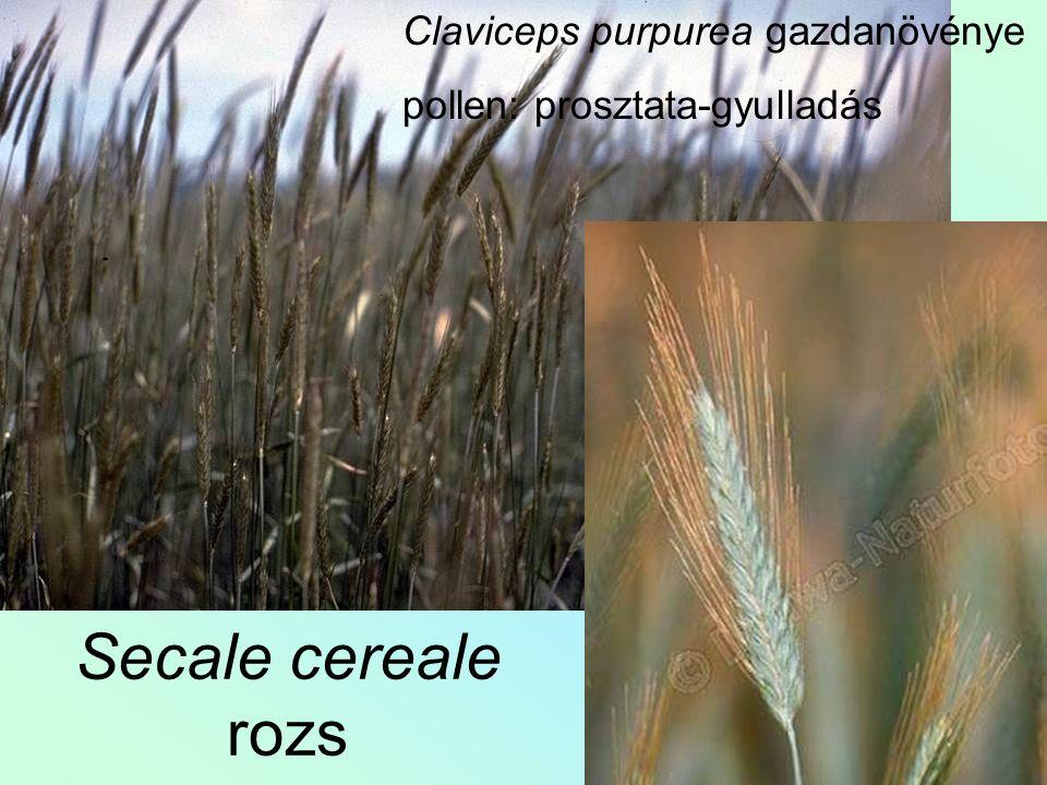 Secale cereale rozs Claviceps purpurea gazdanövénye pollen: prosztata-gyulladás
