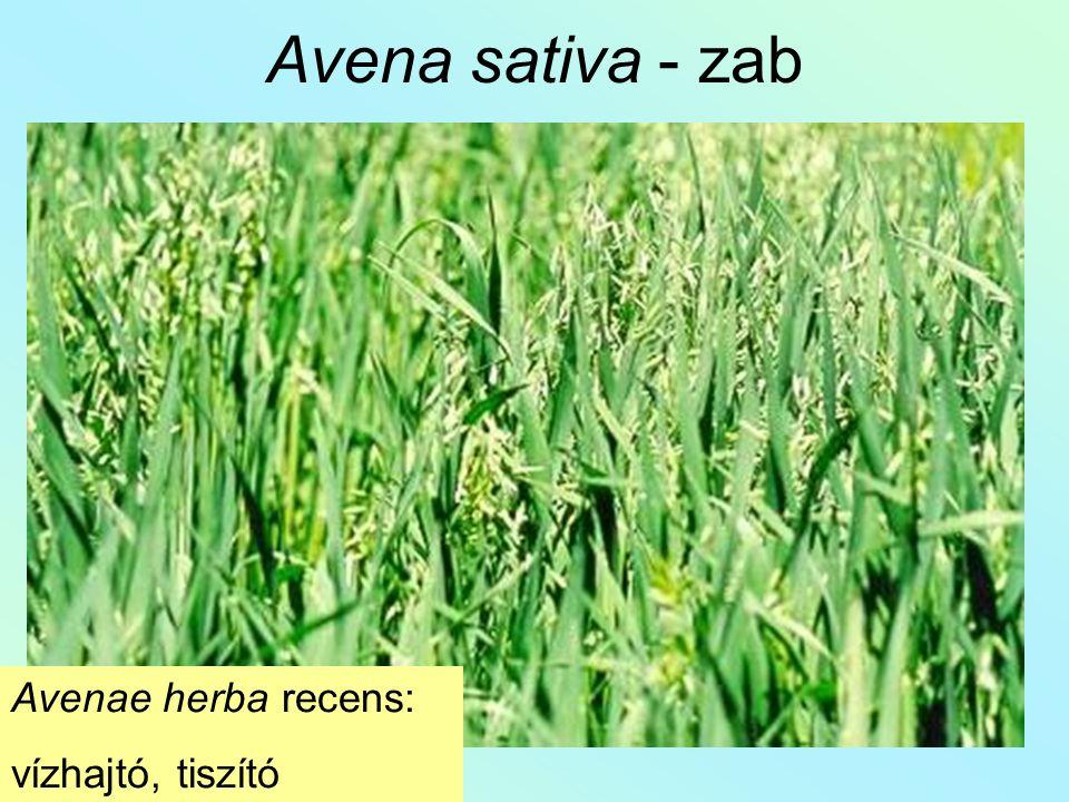 Avena sativa - zab Avenae herba recens: vízhajtó, tiszító