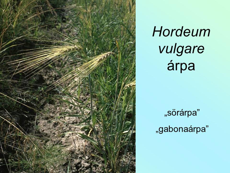 """Hordeum vulgare árpa """"sörárpa """"gabonaárpa"""