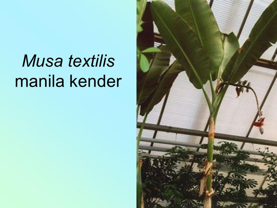 Musa textilis manila kender