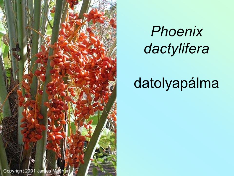 Phoenix dactylifera datolyapálma