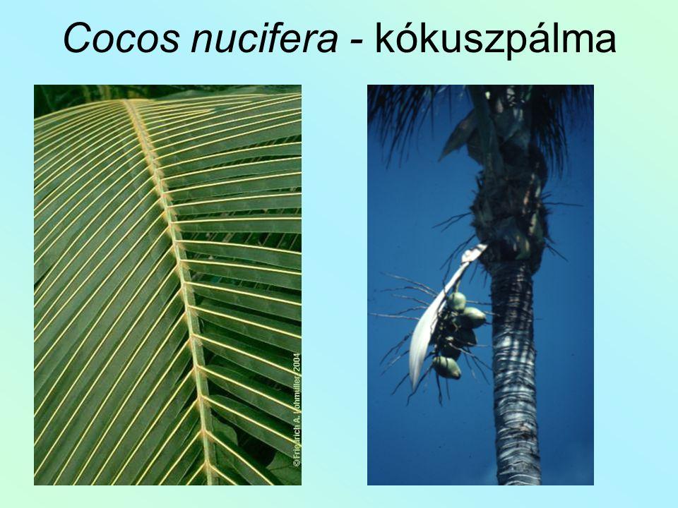 Cocos nucifera - kókuszpálma